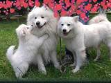 Собаки, щенки Самоед, цена 17367 Грн., Фото