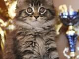 Кішки, кошенята Мейн-кун, ціна 10000 Грн., Фото