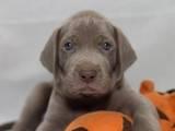 Собаки, щенки Веймарская легавая, цена 16000 Грн., Фото