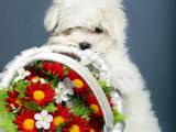 Собаки, щенята Мальтійська болонка, ціна 12500 Грн., Фото