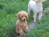Собаки, щенята Карликовий пудель, ціна 3000 Грн., Фото