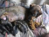 Собаки, щенята Жорсткошерста такса, ціна 1300 Грн., Фото