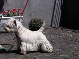 Собаки, щенки Вестхайленд уайт терьер, цена 2500 Грн., Фото