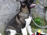 Собаки, щенята Американський акіта, ціна 12500 Грн., Фото