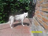 Собаки, щенки Американский стаффордширский терьер, цена 3500 Грн., Фото