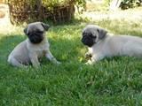 Собаки, щенки Мопс, цена 4500 Грн., Фото