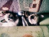 Кошки, котята Сиамская, цена 400 Грн., Фото