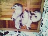 Кішки, кошенята Сіамська, ціна 400 Грн., Фото