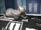 Кошки, котята Канадский сфинкс, цена 1300 Грн., Фото