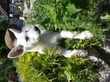 Собаки, щенки Белая Швейцарская овчарка, цена 4500 Грн., Фото