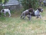 Собаки, щенки Немецкая жесткошерстная легавая, цена 1200 Грн., Фото
