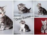 Кішки, кошенята Американська короткошерста, ціна 100 Грн., Фото