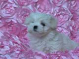 Собаки, щенки Мальтийская болонка, цена 125000 Грн., Фото