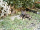 Собаки, щенки Немецкая овчарка, цена 2700 Грн., Фото
