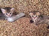 Кішки, кошенята Шотландська короткошерста, Фото
