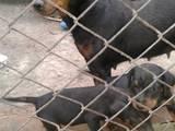 Собаки, щенята Ягдтер'єр, ціна 900 Грн., Фото