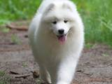 Собаки, щенки Самоед, цена 14000 Грн., Фото