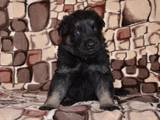 Собаки, щенки Восточно-Европейская овчарка, цена 5000 Грн., Фото