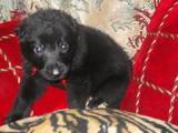 Собаки, щенята Німецька вівчарка, ціна 7500 Грн., Фото