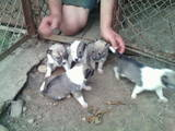 Собаки, щенята Західно-Сибірська лайка, ціна 900 Грн., Фото