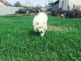 Собаки, щенки Самоед, цена 100 Грн., Фото