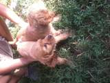 Собаки, щенята Американський коккер, ціна 500 Грн., Фото
