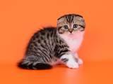 Кішки, кошенята Шотландська висловуха, ціна 4200 Грн., Фото