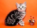 Кішки, кошенята Шотландська короткошерста, ціна 1200 Грн., Фото