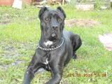 Собаки, щенята Кане Корсо, ціна 8000 Грн., Фото