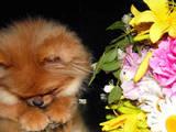 Собаки, щенки Померанский шпиц, цена 6000 Грн., Фото