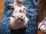 Кішки, кошенята Невськая маскарадна, ціна 1600 Грн., Фото