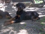Собаки, щенята Доберман, ціна 4000 Грн., Фото