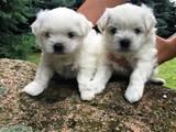 Собаки, щенки Мальтийская болонка, цена 6500 Грн., Фото