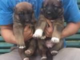 Собаки, щенки Среднеазиатская овчарка, цена 900 Грн., Фото