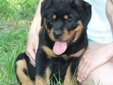 Собаки, щенки Ротвейлер, цена 10000 Грн., Фото