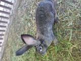 Грызуны Кролики, цена 90 Грн., Фото