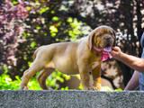 Собаки, щенки Бордосский дог, цена 15000 Грн., Фото
