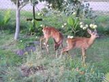 Собаки, щенки Русско-Европейская лайка, цена 8000 Грн., Фото