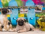 Собаки, щенята Мопс, ціна 15000 Грн., Фото