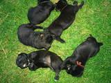 Собаки, щенята Кане Корсо, ціна 2600 Грн., Фото