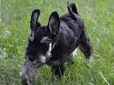 Собаки, щенки Цвергшнауцер, цена 2900 Грн., Фото