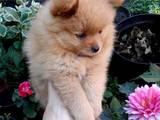 Собаки, щенята Померанський шпіц, ціна 12000 Грн., Фото