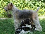 Собаки, щенки Жесткошерстный фокстерьер, цена 900 Грн., Фото