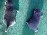 Кішки, кошенята Корат, ціна 300 Грн., Фото