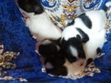 Собаки, щенята Папільон, ціна 6000 Грн., Фото