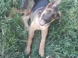 Собаки, щенята Німецька вівчарка, ціна 4000 Грн., Фото