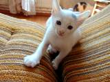 Кішки, кошенята Турецька Ангора, ціна 20 Грн., Фото