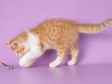 Кошки, котята Шотландская короткошерстная, цена 4000 Грн., Фото