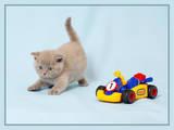 Кішки, кошенята Шотландська висловуха, ціна 1800 Грн., Фото