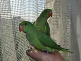 Папуги й птахи Папуги, ціна 200 Грн., Фото